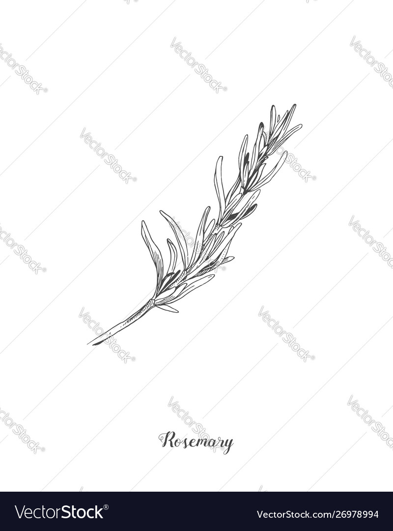 Botanical rosemary branch