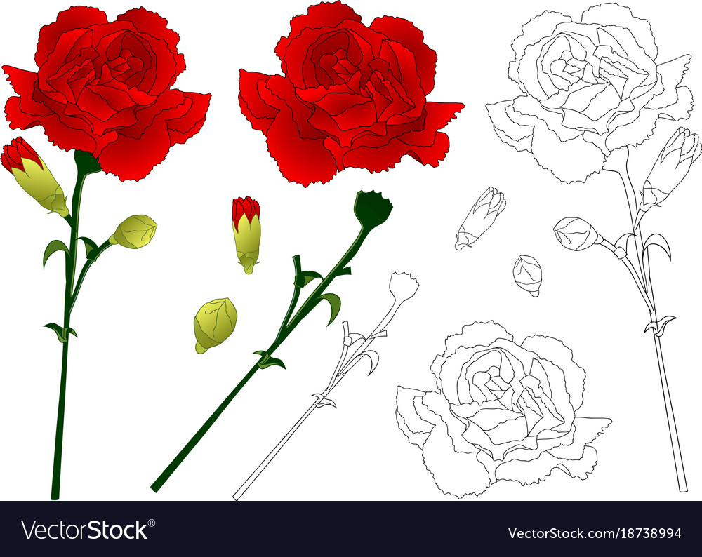 Red Carnation Flower Royalty Free Vector Image