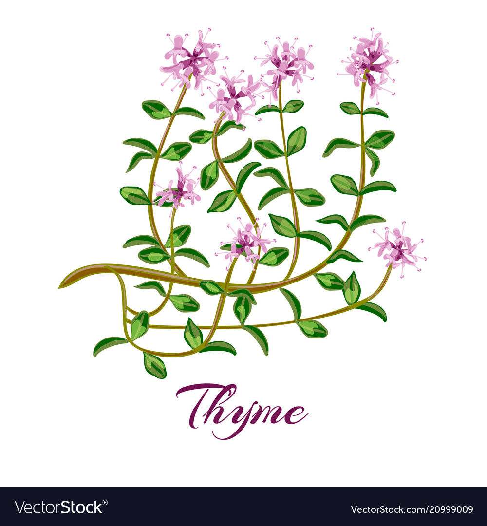 Thymus banner for cosmetics