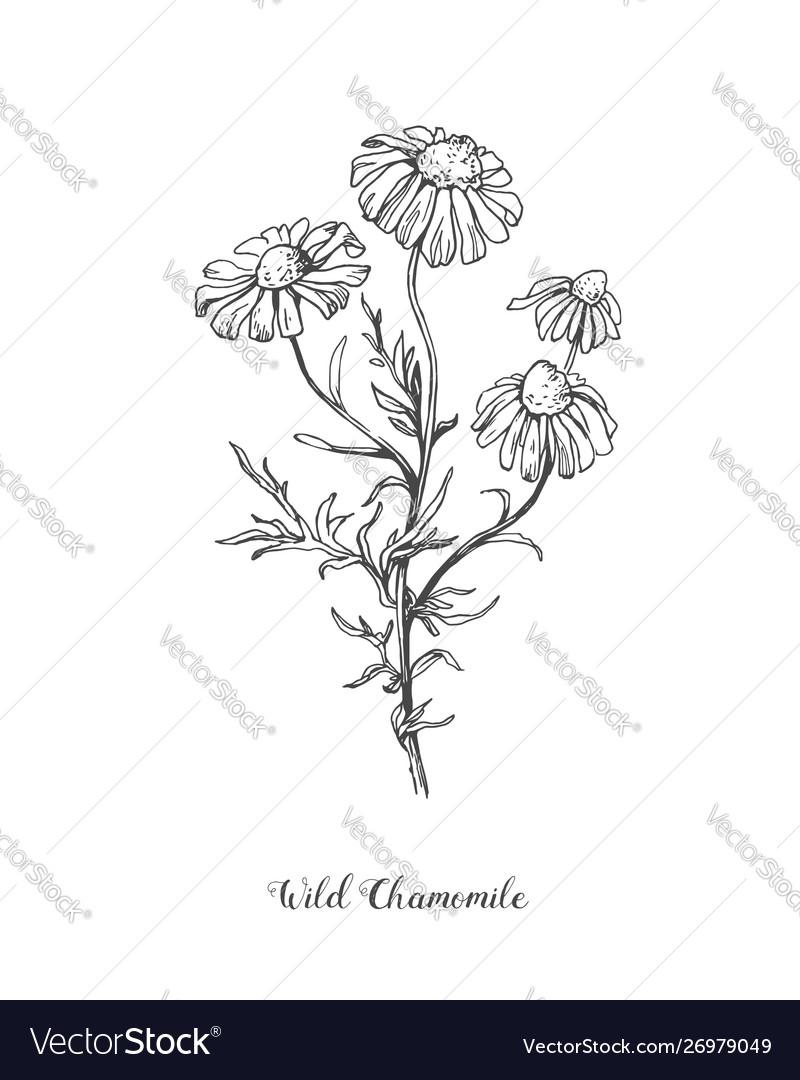 Daisy flower line art drawing hand drawn