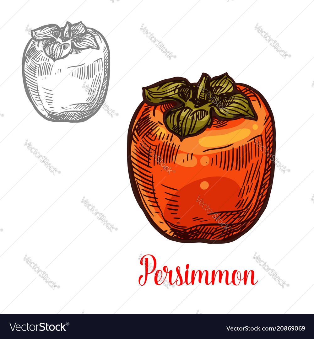 Persimmon fruit sketch of exotic asian berry