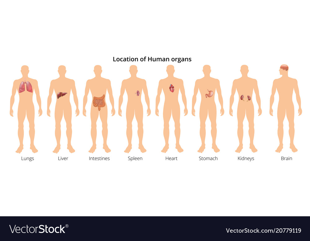 8 human body organ systems realistic educative Vector Image