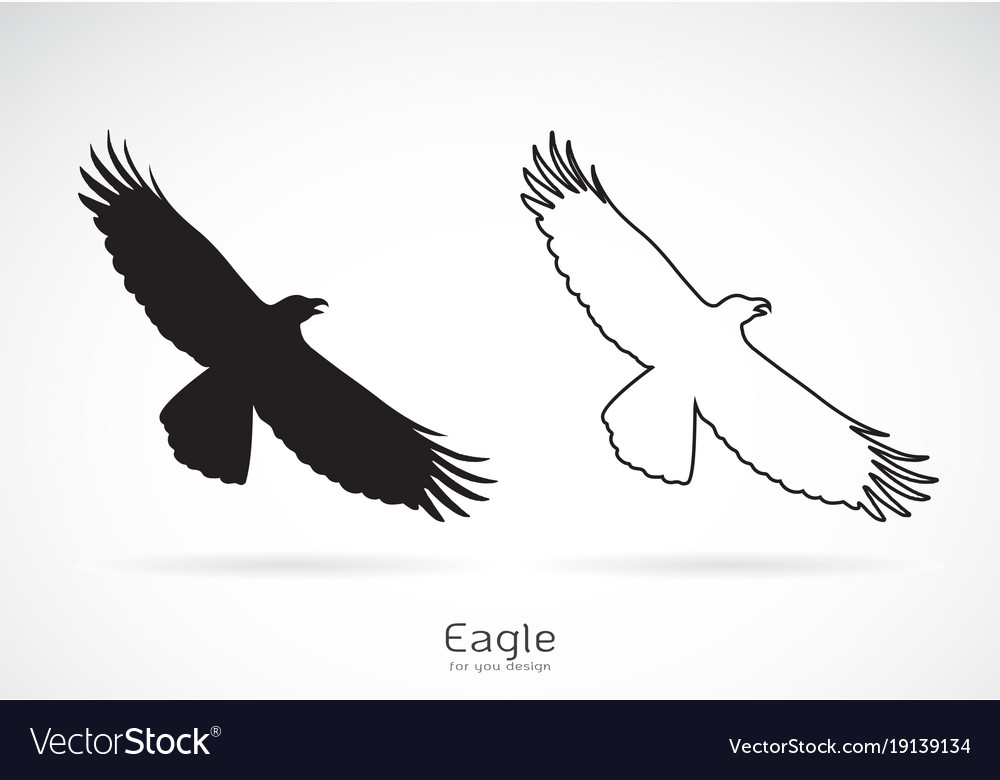 Eagle is spreading its wings on white
