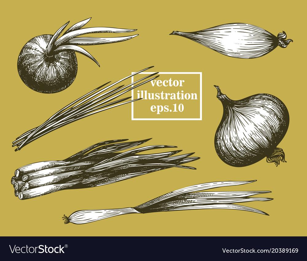 Onion hand drawn set vintage vegetarian vector image