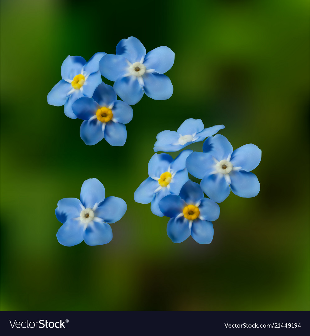 Blue Forget Me Not Spring Flowers Royalty Free Vector Image