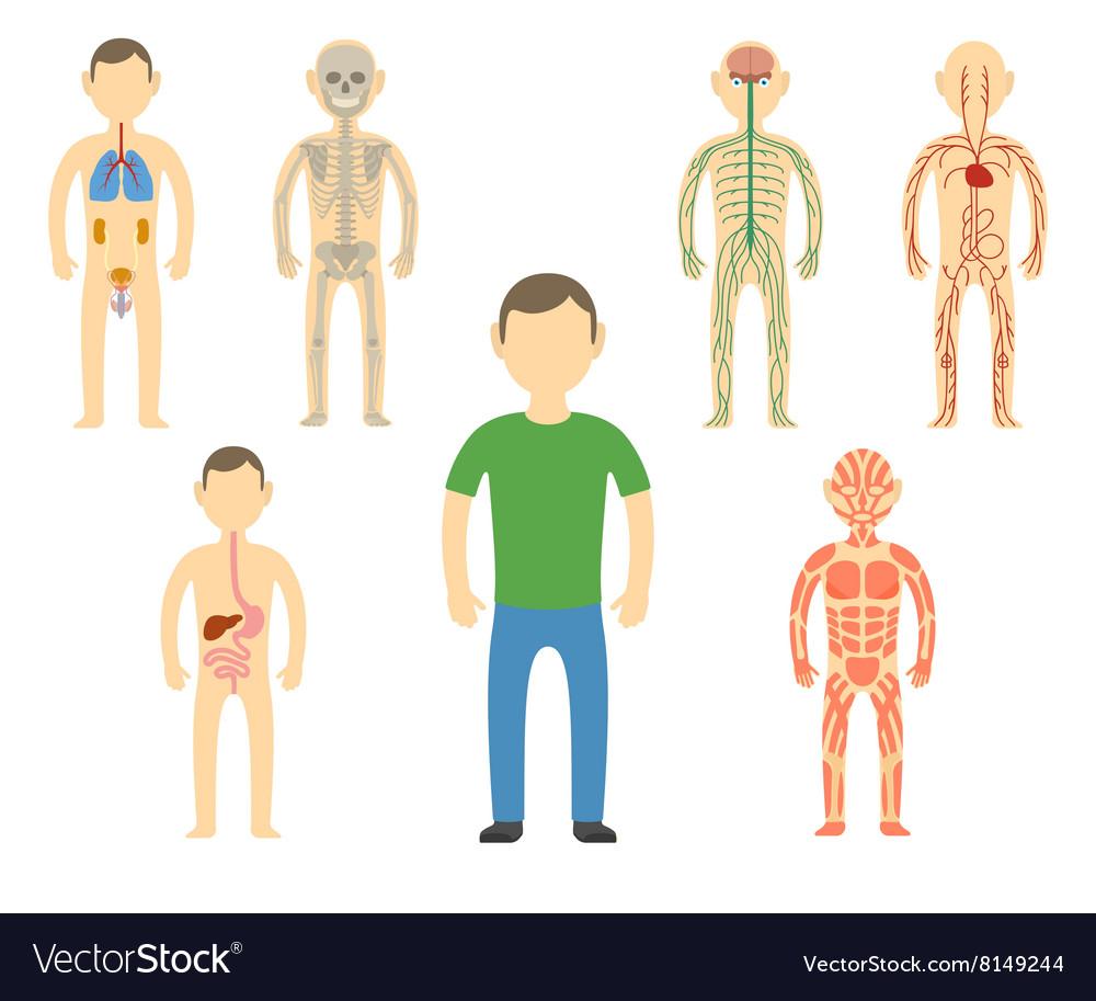 Cartoon man body anatomy Royalty Free Vector Image
