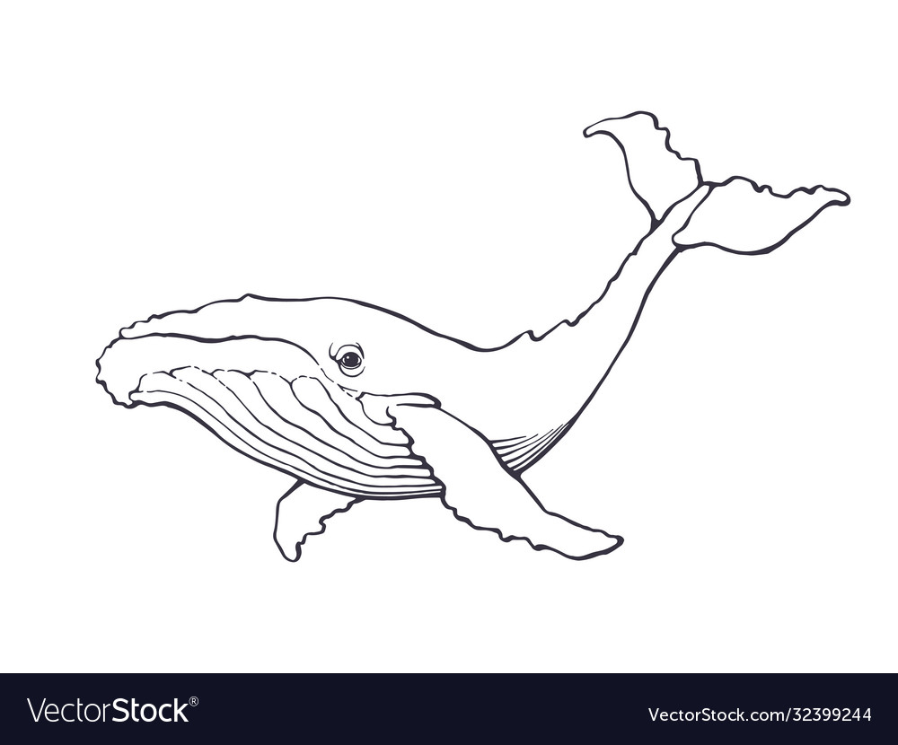Hand drawn ink contour whale