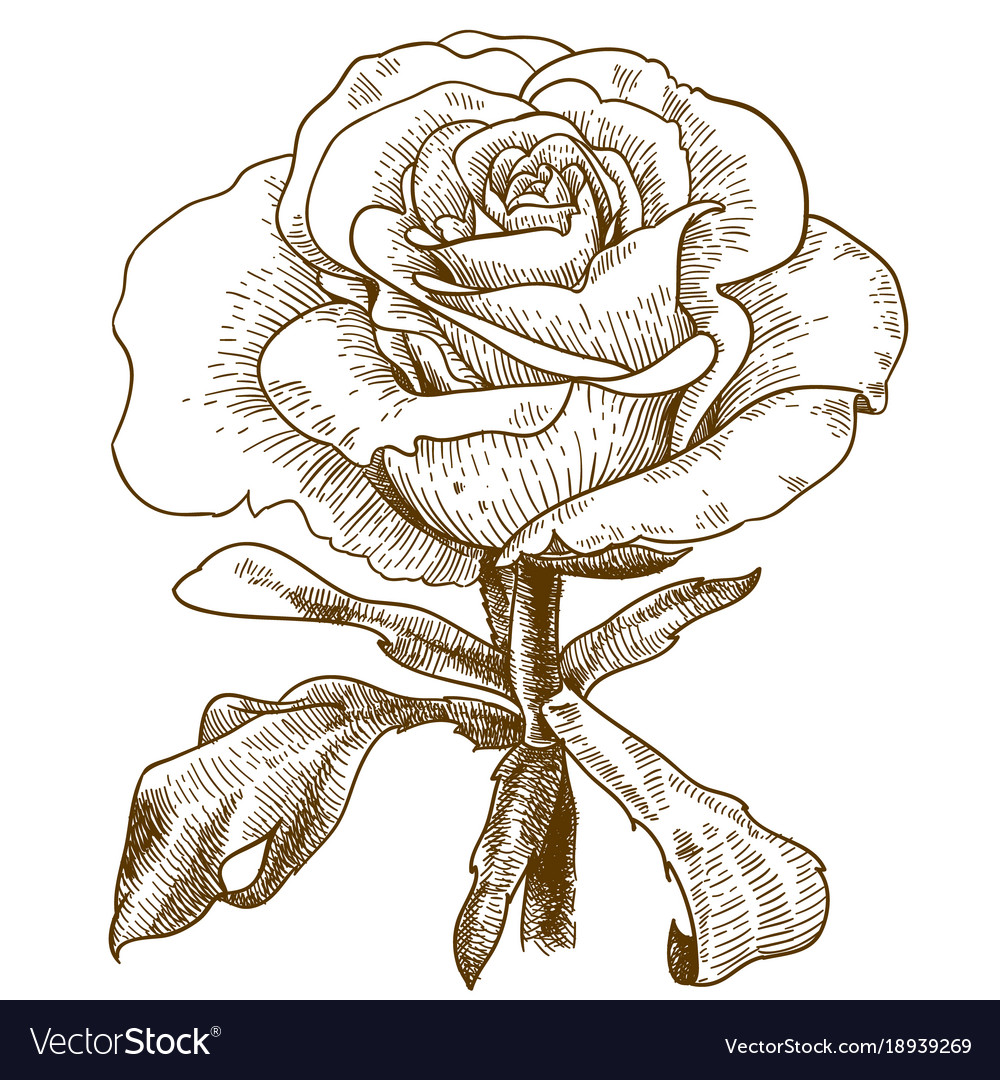Engraving of rose flower vector image
