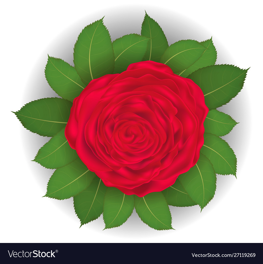 Red rose and leaf on white background