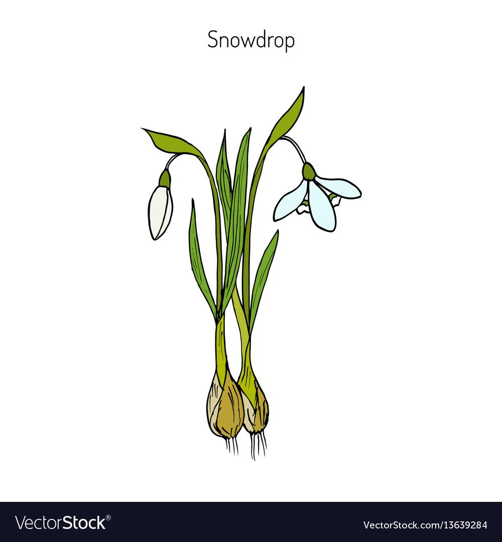 Snowdrop spring flower