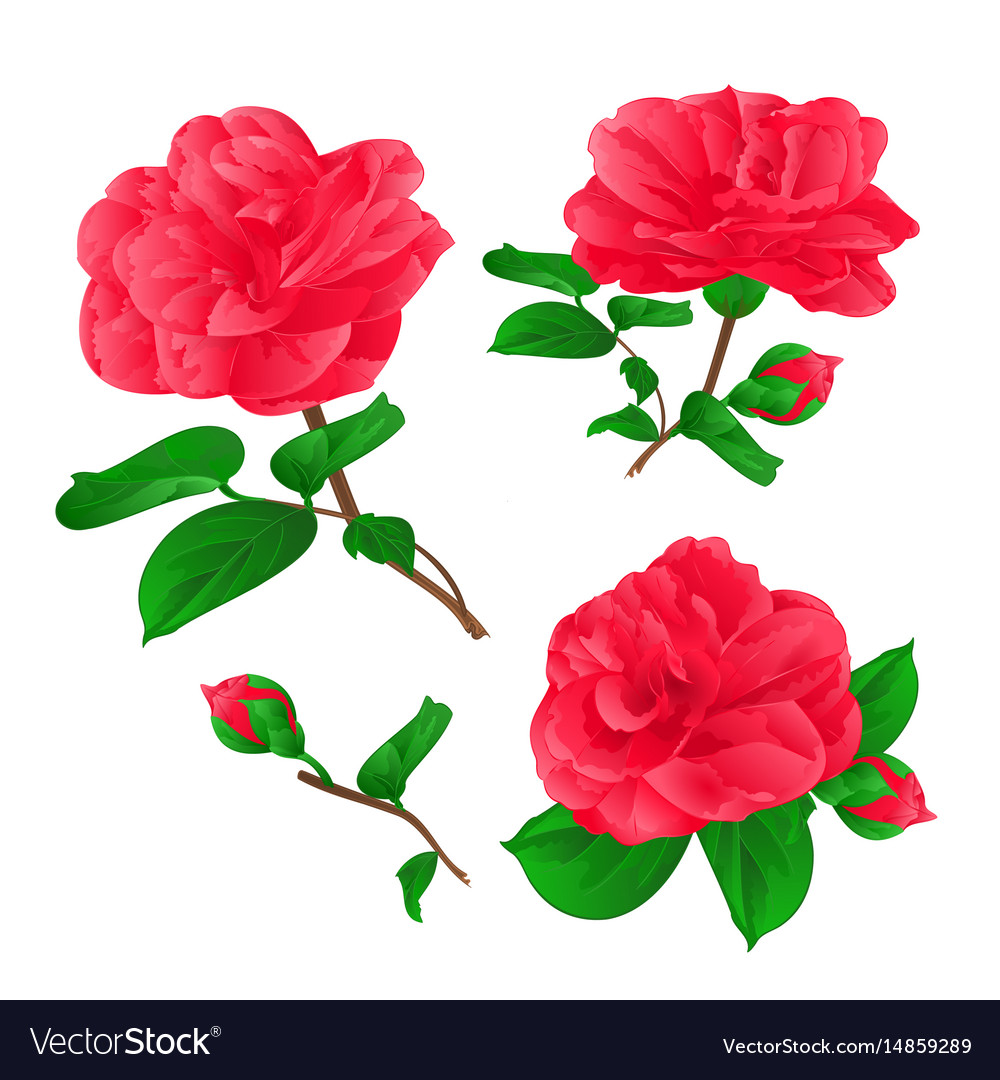Three Flowers Camellia Japonica With Buds Vector Image