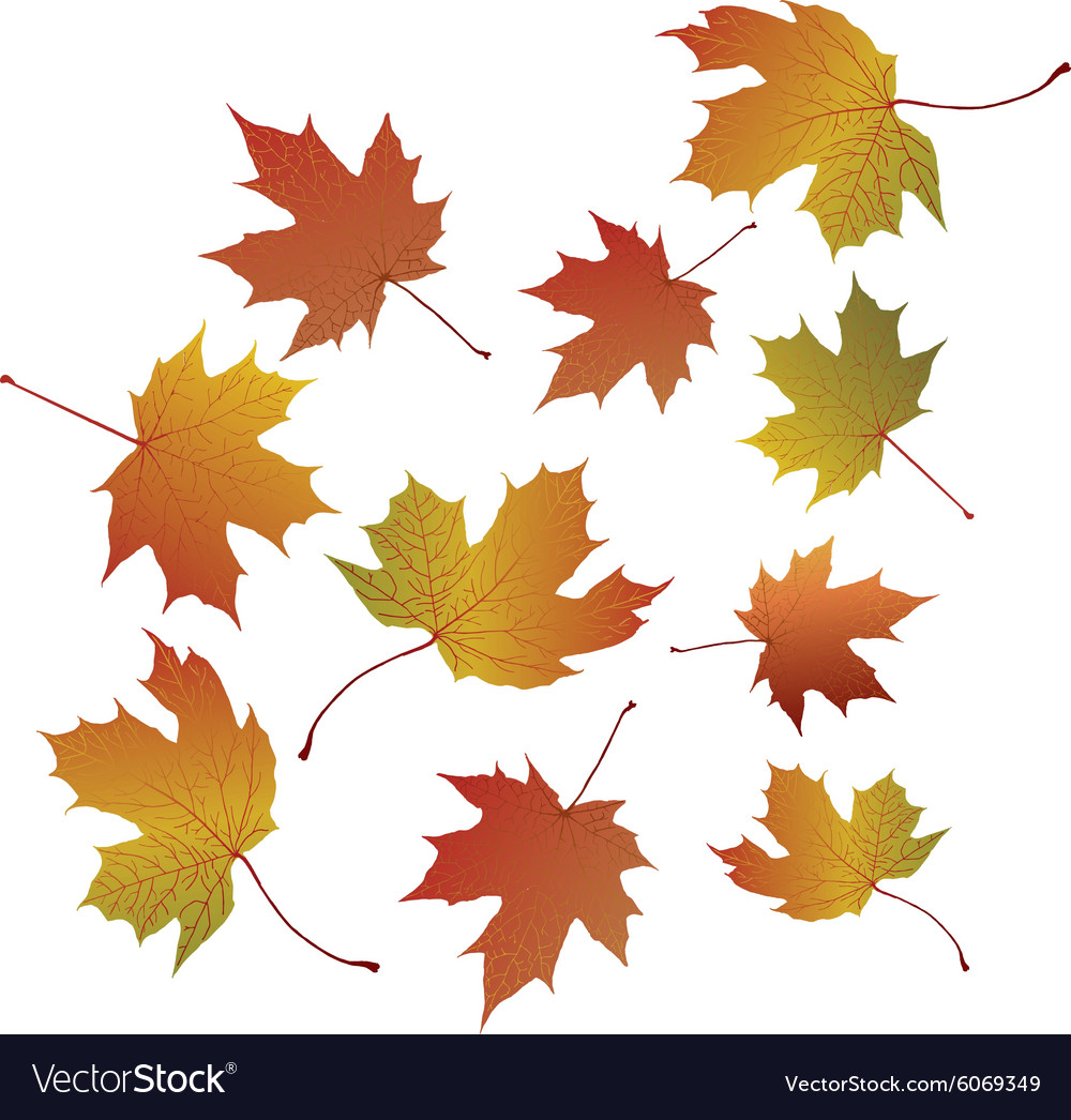 Maple leaves on transparent background vector image