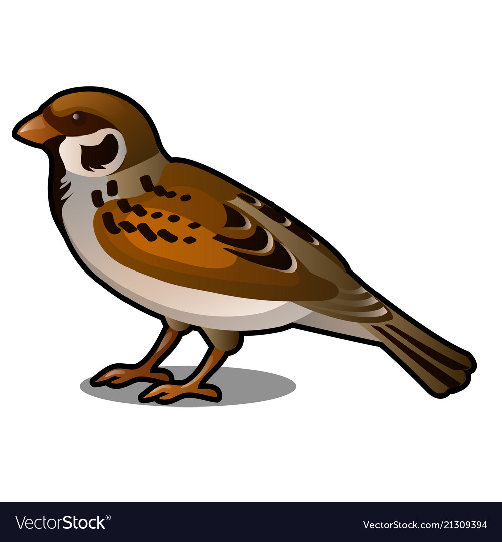 Brown sparrow isolated on a white background