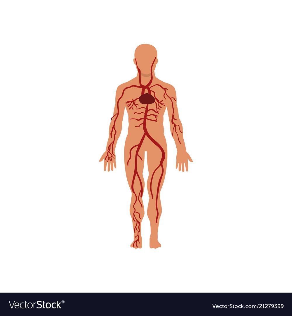 Human Circulatory System Anatomy Of Human Body Vector Image