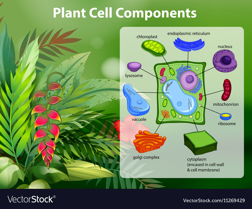 Plant Cell Components Diagram Royalty Free Vector Image Showing A Chloroplast