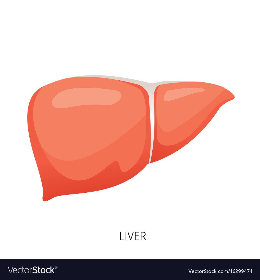 Liver Human Internal Organ Diagram Royalty Free Vector Image