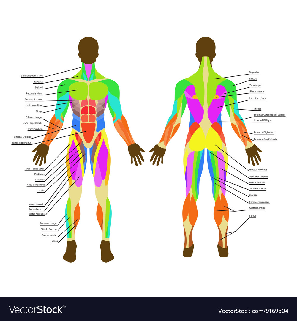Detailed Of Human Muscles Exercise Royalty Free Vector Image
