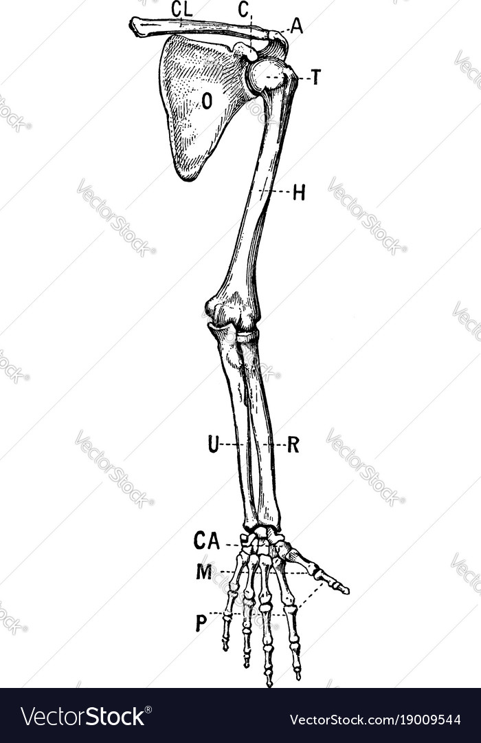Bones of the shoulder and upper extremity - front
