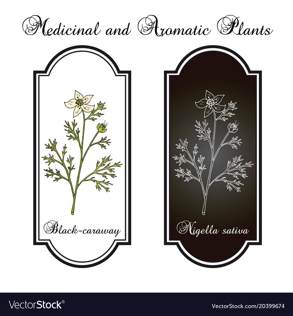 Black caraway nigella sativa medicinal plant