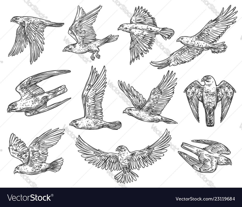 Birds of prey sketches eagle falcon and hawk vector image
