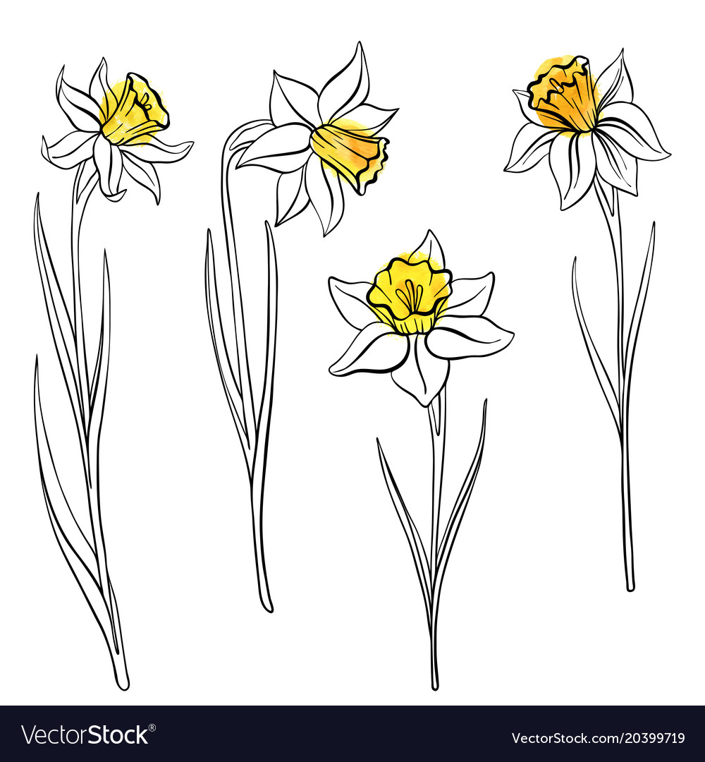 Drawing flowers of anrcissus