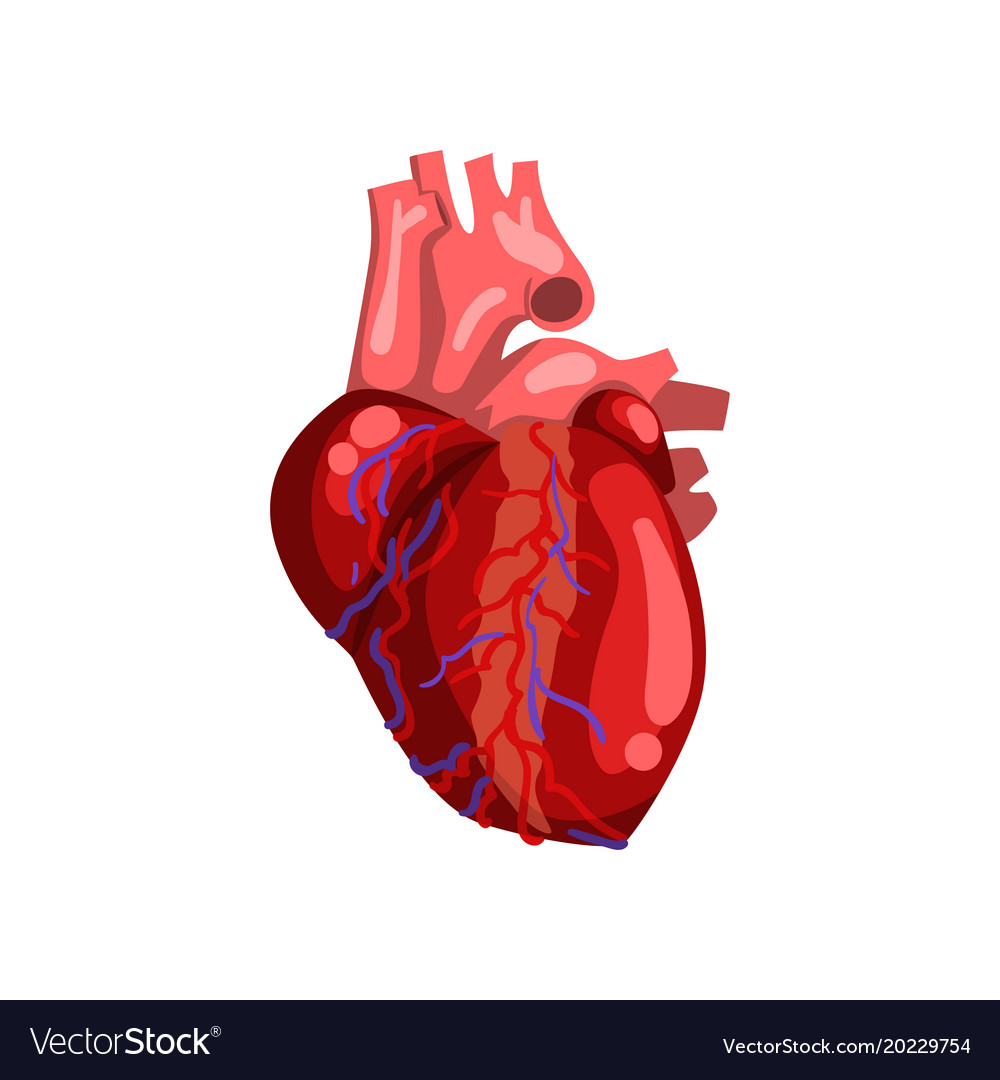 Human heart internal organ anatomy Royalty Free Vector Image