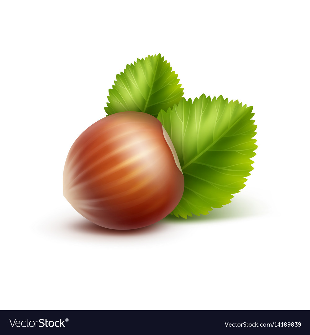 Full unpeeled hazelnut with leaves close up vector image