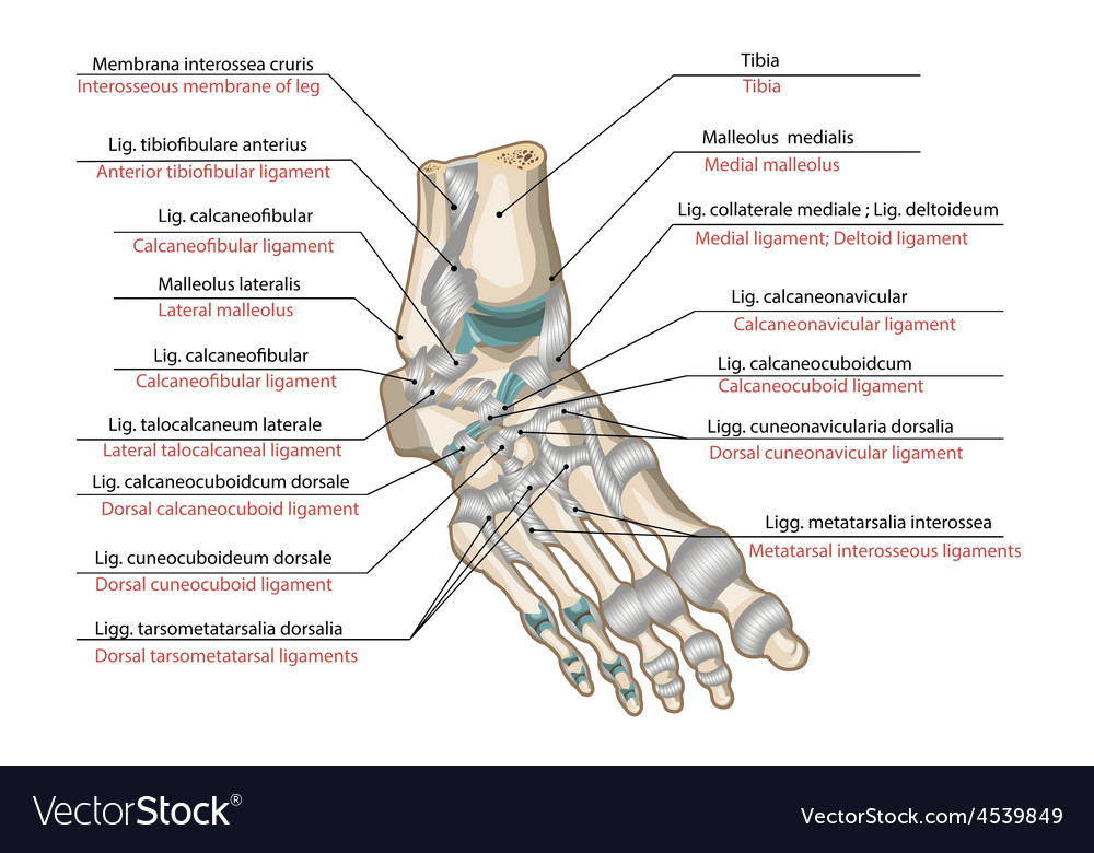 Ligaments And Joints Of The Foot Royalty Free Vector Image