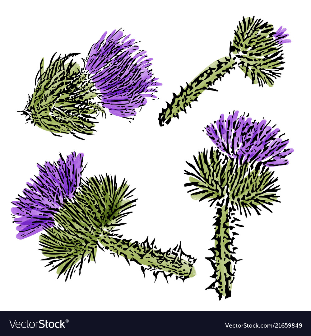 13dc682c7 Watercolor milk thistle flowers set isolated on Vector Image