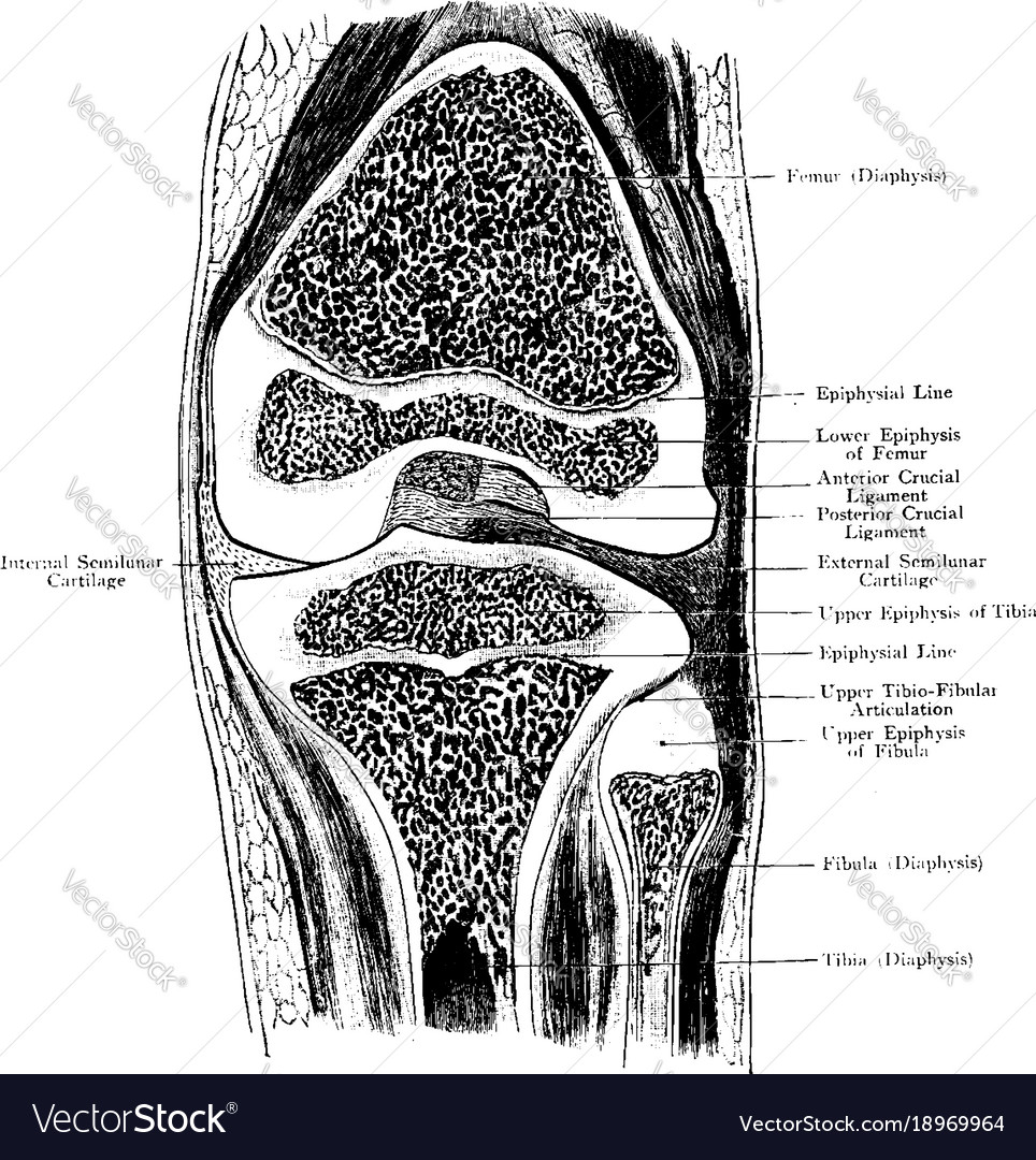 frontal section through knee joint vintage vector 18969964 frontal section through knee joint vintage vector image