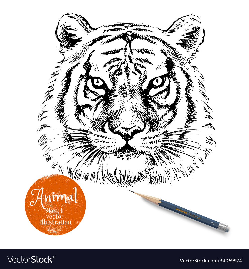 Hand drawn tiger head sketch isolated tiger