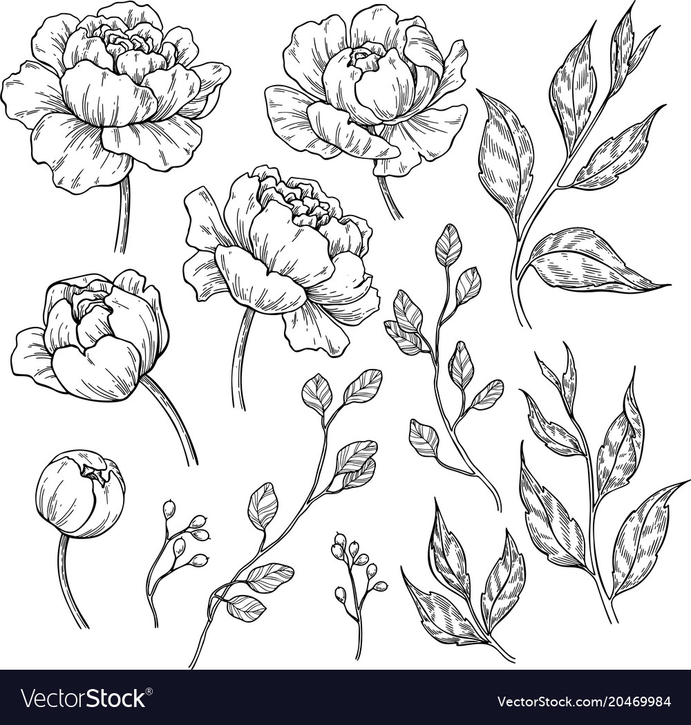 Peony flower and leaves drawing hand drawn
