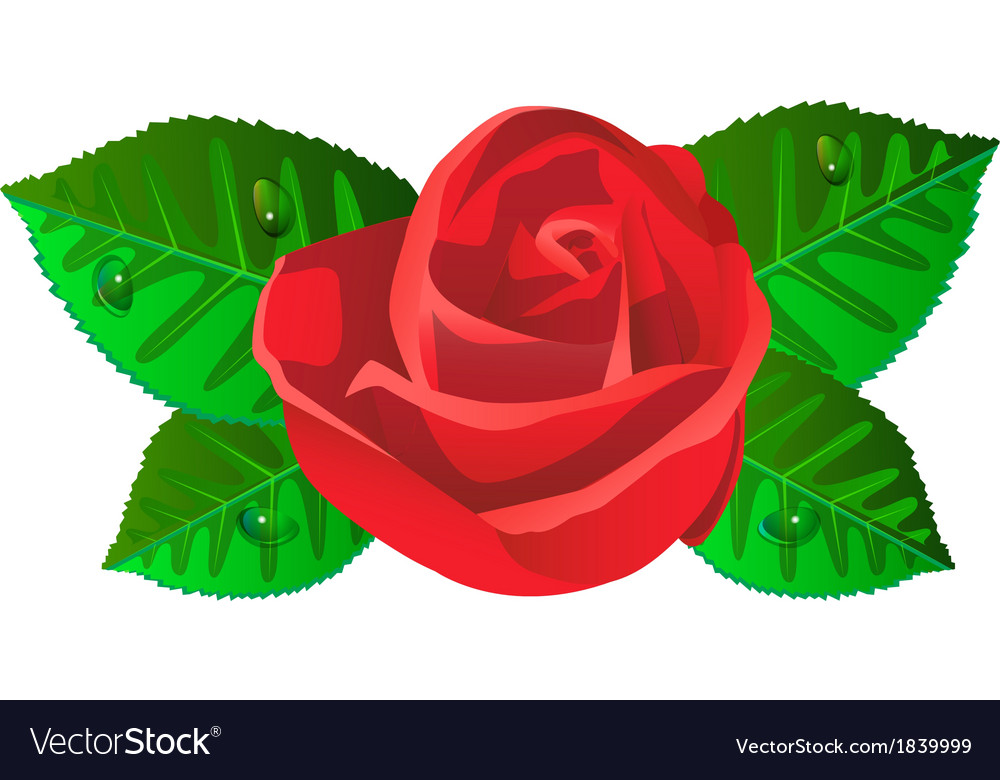 Red rose flower with shiny green leaves