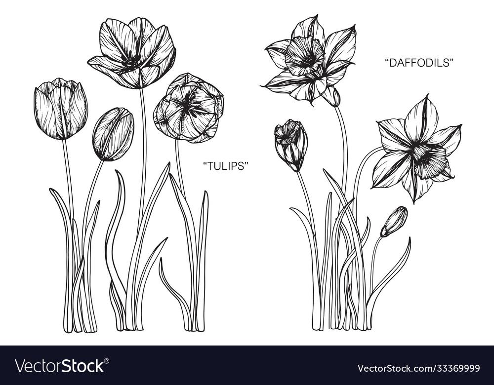 Set tulip daffodils flower and leaf hand drawn