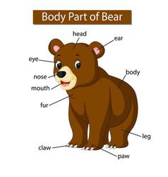 Diagram showing body part bear vector
