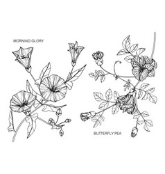 Set morning glory butterfly peas flower and vector