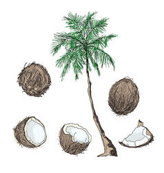 coconut tree and fruits vector image