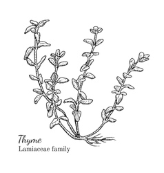 Ink thyme hand drawn sketch vector image