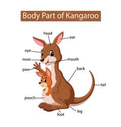 Diagram showing body part kangaroo vector