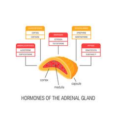 Hormones of the adrenal gland diagram vector
