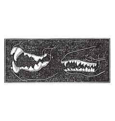 comparing teeth of carnivora and insectivora vector image
