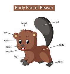 Diagram showing body part beaver vector