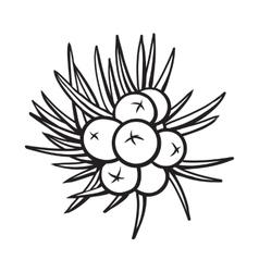 Juniper berries sketch style vector image vector image