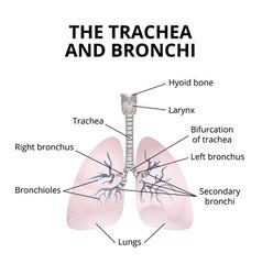 Human respiratory organs vector
