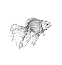 goldfish drawing engraving vector image