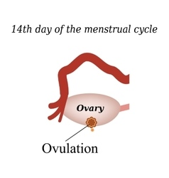 14 day of the menstrual cycle - ovulation vector image