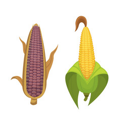 organic corn isolated on white background vector image