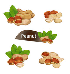peanut kernel in nutshell with leaves set vector image