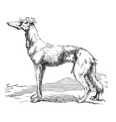 Persian Greyhound vintage engraving vector image