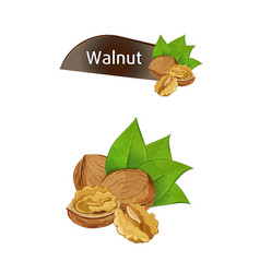 walnut kernel in nutshell with leaves set vector image
